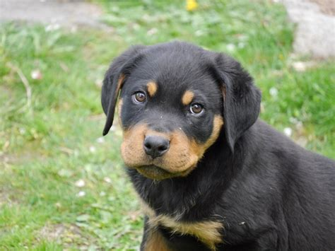 File Ee  Rottweiler Ee   Months Old Jpg Wikimedia Commons