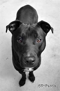 pitbull lab mix images | Mojo the dog. Hes a Black Lab Pit ...