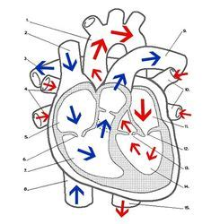 heart worksheet describes  parts   heart