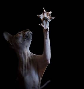 these photographs of hairless sphynx cats perfectly