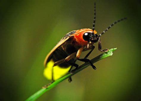 light up bug light up the with fireflies