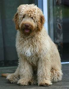 Australian Labradoodle Breeders for Agape Paws: a ...