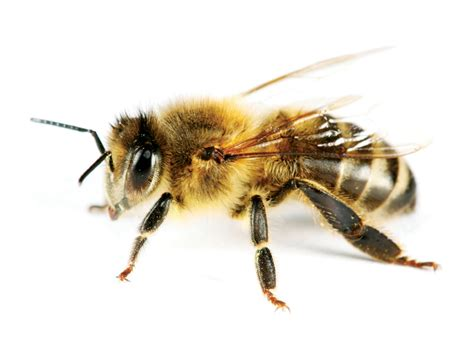 bees wasps pes professional ecological services victoria