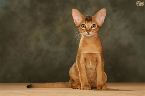 cat breeders abyssinian cat breed facts highlights buying advice