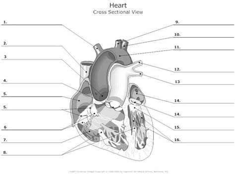 cross sectional view   human heart unlabeled