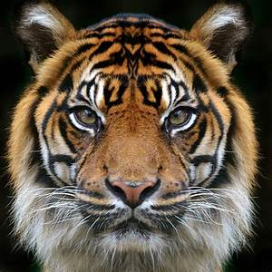Bengal Tiger Pictures, Images and Stock Photos - iStock