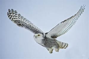Snowy Owl Flying Drawing