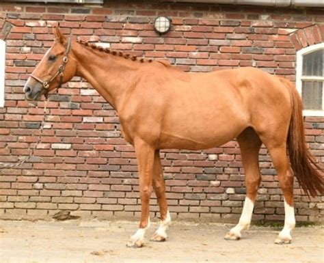 selle francais horse eventing hands height