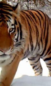 Rare wild Amur tiger caught on video in China