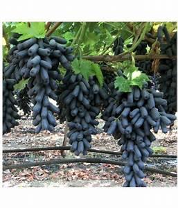 Azalea Gardens Rare Finger Grape Fruit Seeds 20 Seed  Pack