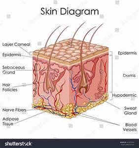 Medical Education Chart Biology Skin Diagram Stock Vector 645657634