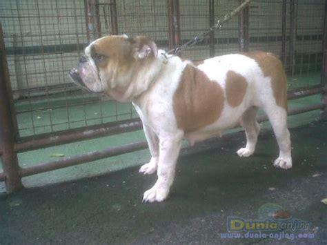pichboy bulldog coklat dunia anjing jual anjing bulldog dijual indukan bulldog