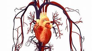 Human Heart And Circulatory System