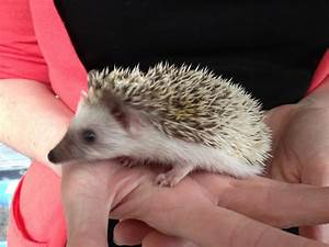 Eastern Baby African Pygmy Hedgehogs - Reptile Forums