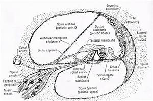 Cross Section Of The Cochlea  The Organ Of Corti Is