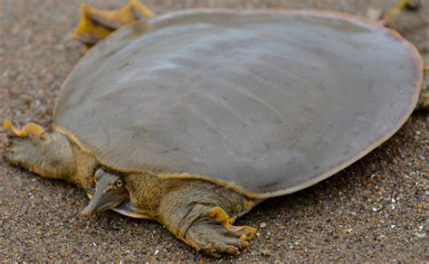 softshell turtle red and the peanut a midland smooth softshell turtle apalone mutica mutica from the little