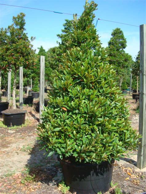japanese blueberry  la tejana trees