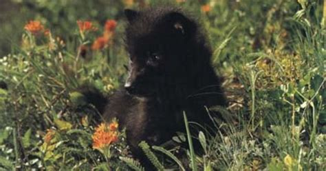 baby black wolf cub kwoli pinterest wolves posts