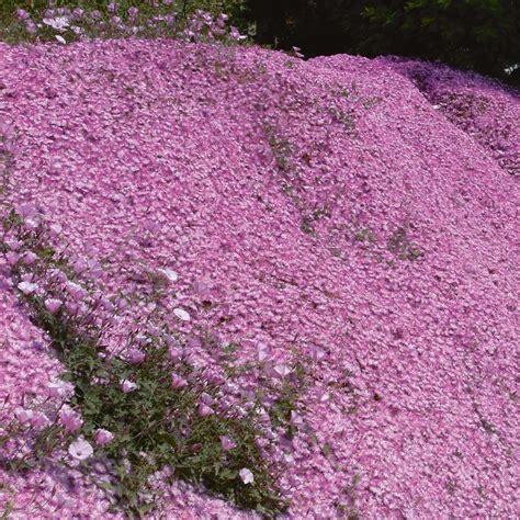 perrenial ground cover delosperma pink ribbon perennial amp biennial plants thompson home interior design ideashome