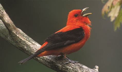 songs  wild birds adirondack explorer adirondack