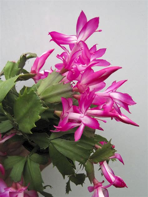 cactus christmas care taking tips turbine features morning