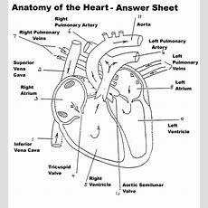 Anatomy Heart Diagram Labeled Anatomy And Physiology Heart Worksheet Answers Intrepidpath