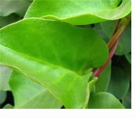 tanaman binahong khasiatnya tanaman berkhasiat