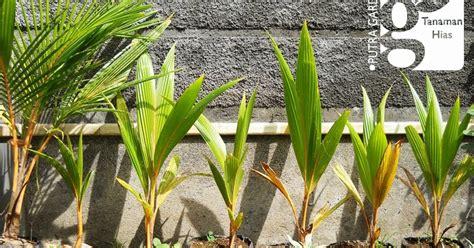 putra garden jual bibit tanaman kelapa gading termurah