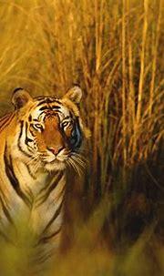 #114029 #tiger, #hunter, #Bengal Tiger, #National ...