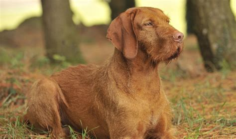 vizsla dogs shedding breeds picture
