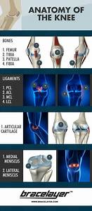 Anatomy Of The Human Knee