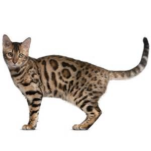and cats bengal cat health facts by petplan