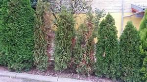 Koniferen Werden Braun : smaragd thuja schneiden thuja hecke lebensbaum smaragd ~ Lizthompson.info Haus und Dekorationen