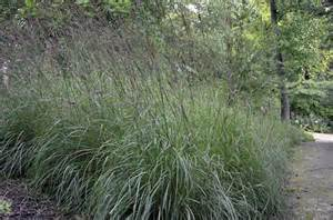 Andropogon Gerardii Big Bluestem Grass