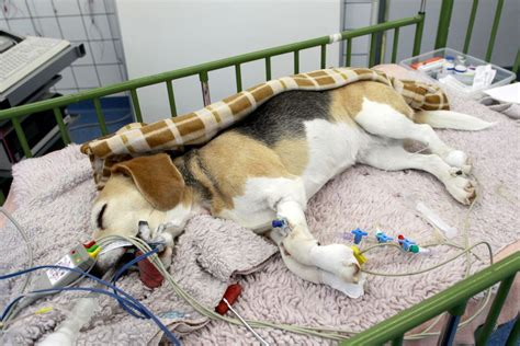 seizures in dogs seizures in dogs causes diagnosis and treatment