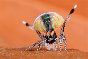 Fancy pants! New Peacock Spiders Make a Splash | ANIMAL VOGUE