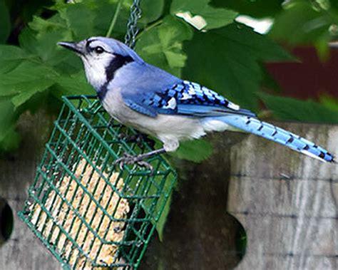 wild about birds backyard birds bluejay