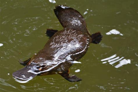 unique table eungella platypus travel photography