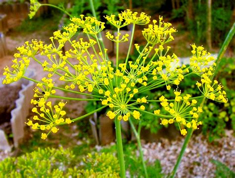obat herbal adas tanaman obat alami tips kesehatan