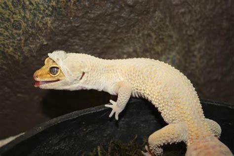leopard gecko shedding skin reptile facts a leopard gecko eublepharis macularius
