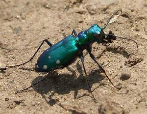 Blue Beetle Insect