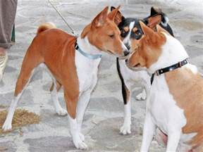 five dog breeds that dont bark much