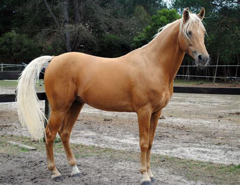 palomino stallion arabian champion stud sandman gold colour body parisian platinum nationals