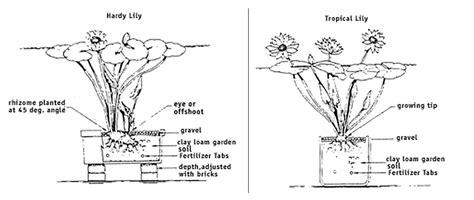 Diagram Of Water Flower by Plants Flowers 187 Marginal Plants
