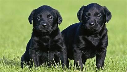 Lab Linux Labrador Puppies Wallpapersafari