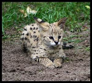 Baby Serval by Twins72 on DeviantArt