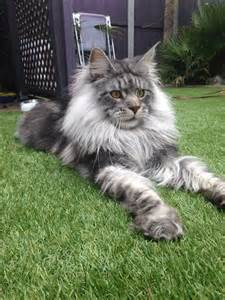 forest cat florida 25 best ideas about forest cat on
