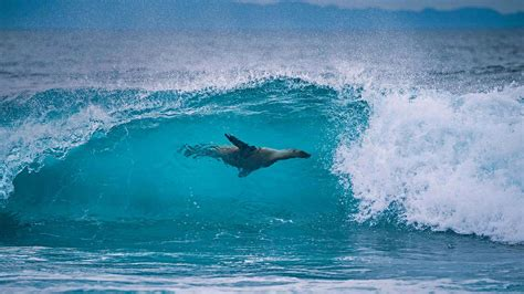 Lion Surfing Bing Wallpaper Download