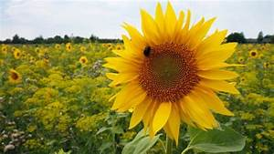 Tips To Grow And Take Care Of Sunflowers