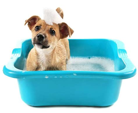 How Often To Shower Puppy by How Often Should You Wash Your Best Bulldog